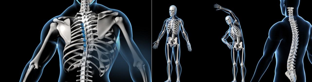 3d spine skeleton